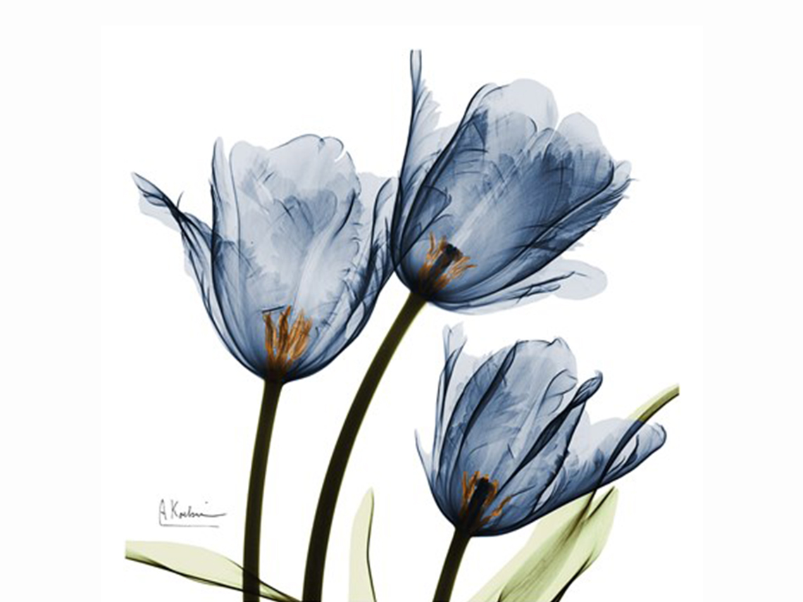 New Blue tulips