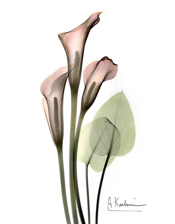 Calla Lily, Jewels of nature